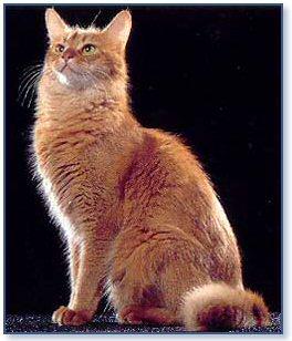 Comportamiento de la raza de gato somal for Largo somalia