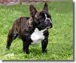 http://www.comportamientoanimal.com/imagenes/razas_perro/razas_ppal_bulldog%20franc%C3%A9s_3.jpg