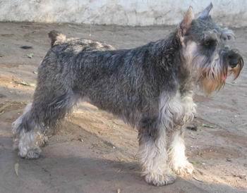 http://www.comportamientoanimal.com/imagenes/razas_perro/razas_ppal_schnauzer%20miniatura_1.jpg