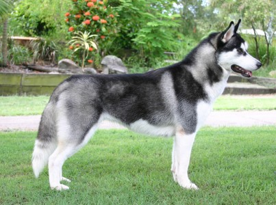 Siberian Husky Adult Dogs