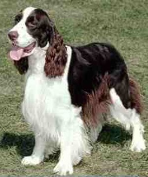 Springer Spaniel Puppies on Comportamientoanimal Com